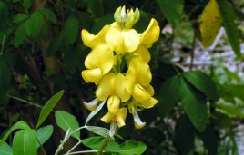 Die wunderbare amazonensische Flora
