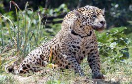 Ursprung des Wortes Jaguar ist yaguara aus der Tupi-Sprache