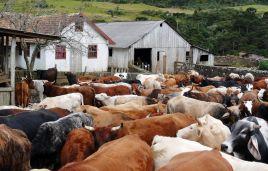 Viehtrieb zurück zur Farm
