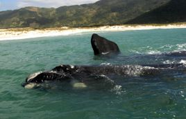 Südliche Glattwale (Eubalaena australis)