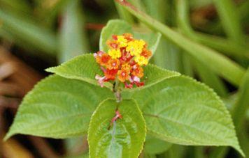 Amazon-Blume