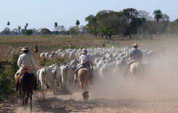 Viehtrieb im Pantanal