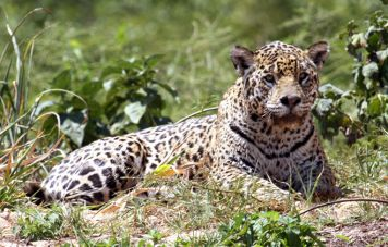 Der Jaguar (Panthera onca)