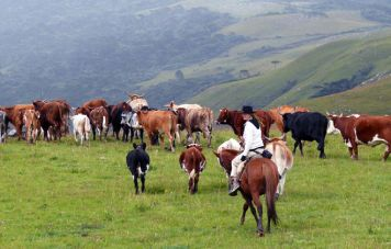 Besucher sind eingeladen beim Viehtrieb zu helfen