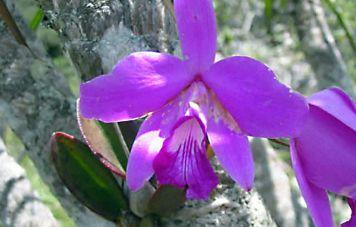 Lealia purpurata