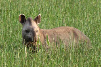 Der Tapir (Tapirus terrestris)