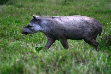 Tapir im Pantanal (Nhecolândia)