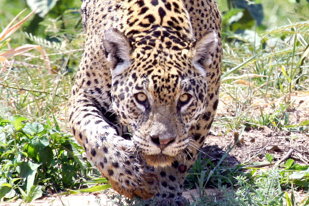 Jaguar Expedition