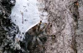 Tarantula und ihr Zuhause