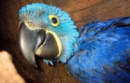 Hyazinth-Ara-Jungvogel