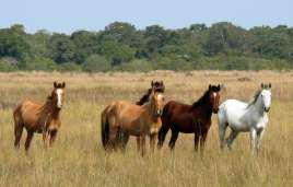 Pantaneiro-Pferde