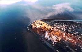 Ein schwimmender Jaguar