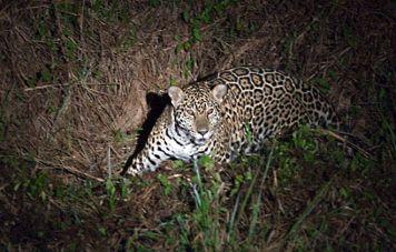 Der Jaguar ist ein nachtaktiver Jäger
