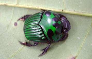 Schöner Käfer