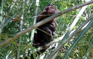 Ein Affe im Tijuca Nationalpark
