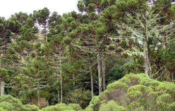 Araucaria-angustifolia-Wald